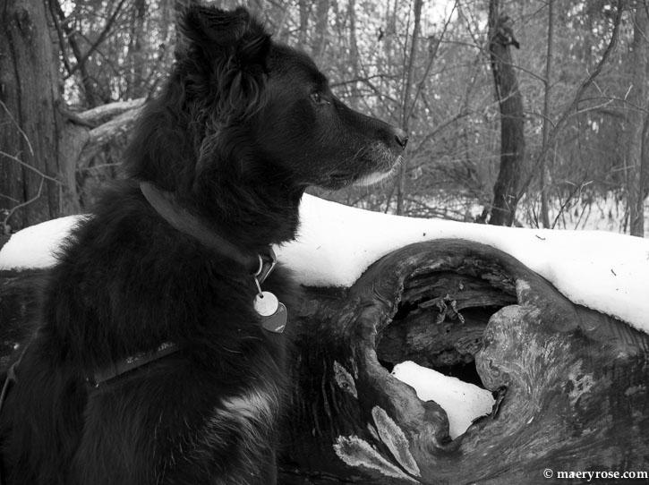 contemplative dog