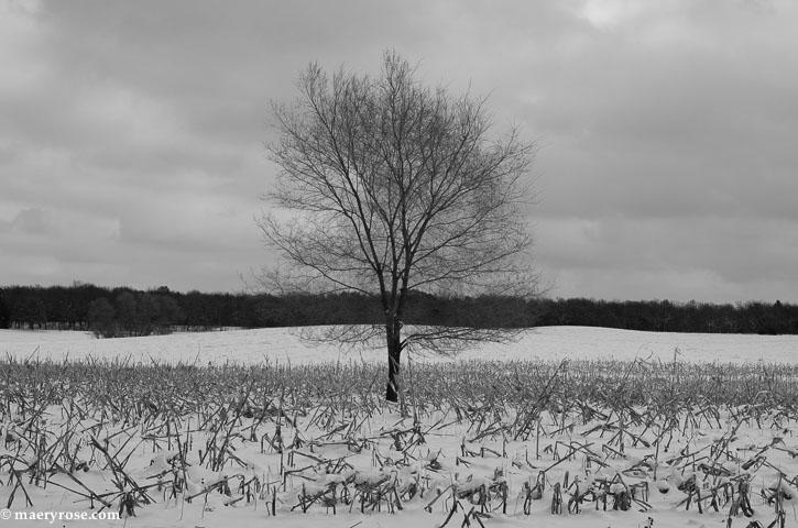 tree in corn field