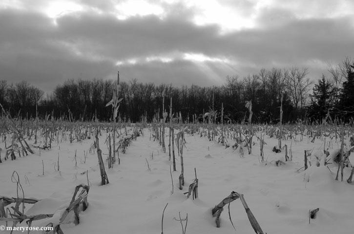 cornfield in winter