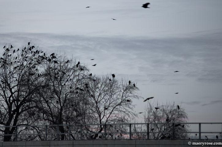 crows gathering