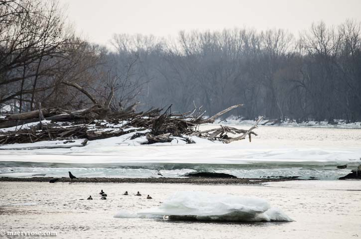 ducks and crow on Mississippi River