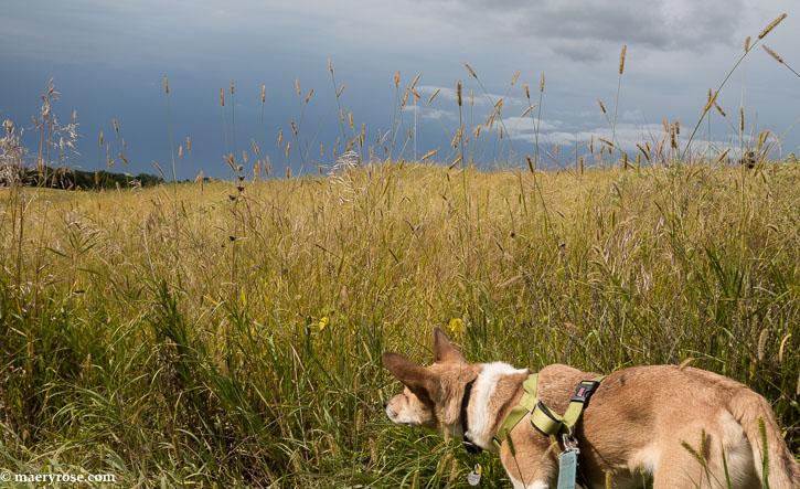 dog walk in a field