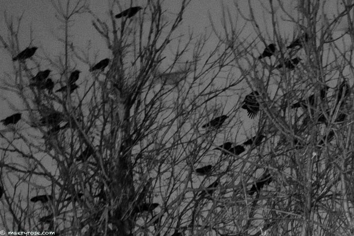crows gathered in a tree