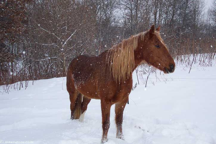 horse in snowstorm