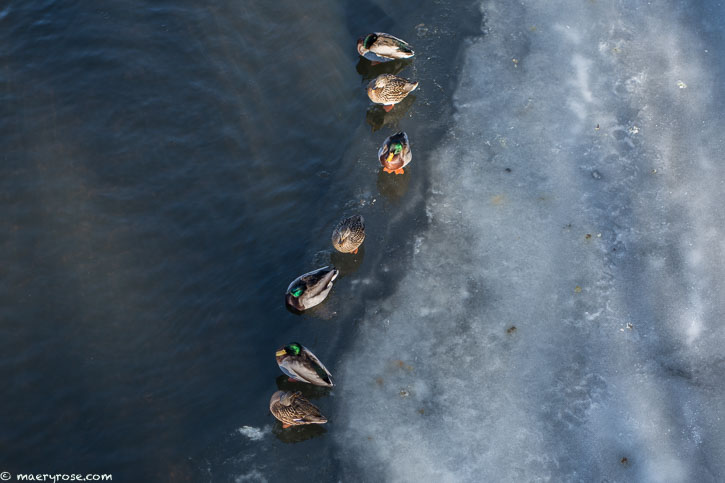 ducks on Rum River