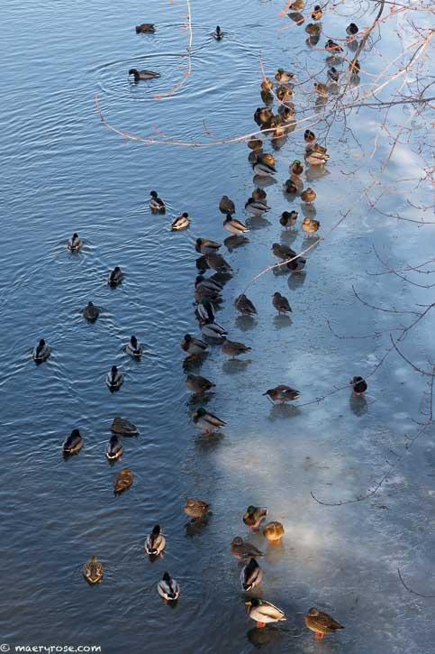 ducks on Rum River