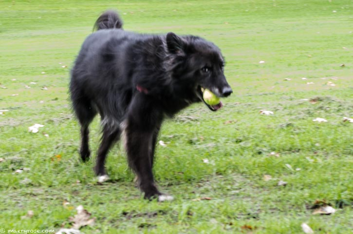 Dog fetching ball