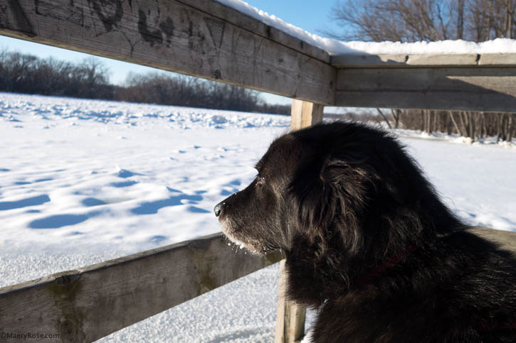 Dog looking out at Mississippi River