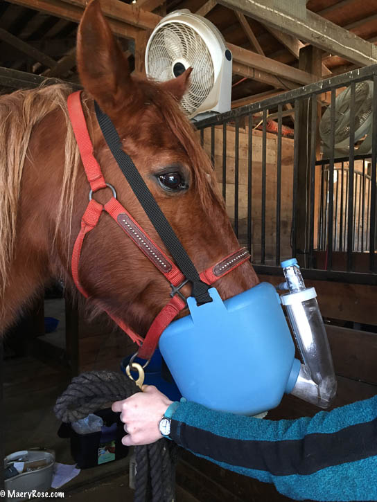 horse being nebulized